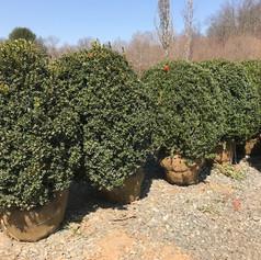Specimen Trees | North Salem | Svendsen & Keller | Landscape Design Firm | Sourcing