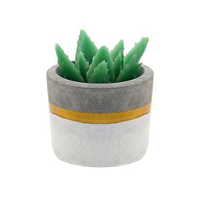 Vela materita cactus
