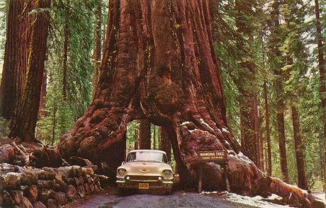wawona tree yosemite park redwood tree t
