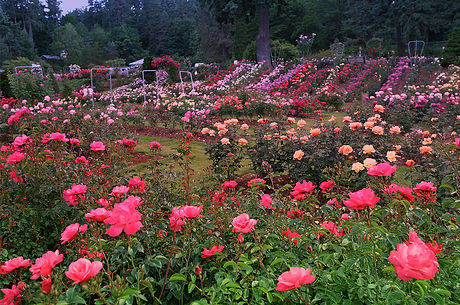 Rose-Test-Garden-Portland.jpg