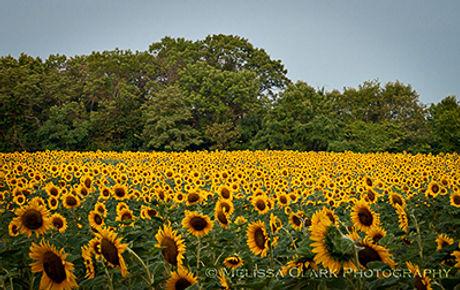 sunflowers_070810_0031_400w.jpg