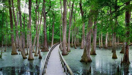 cypress swamp.jpg