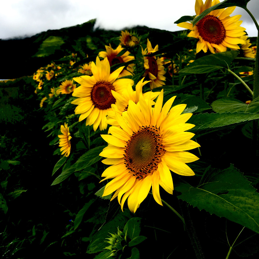 Sunflowers Niseko