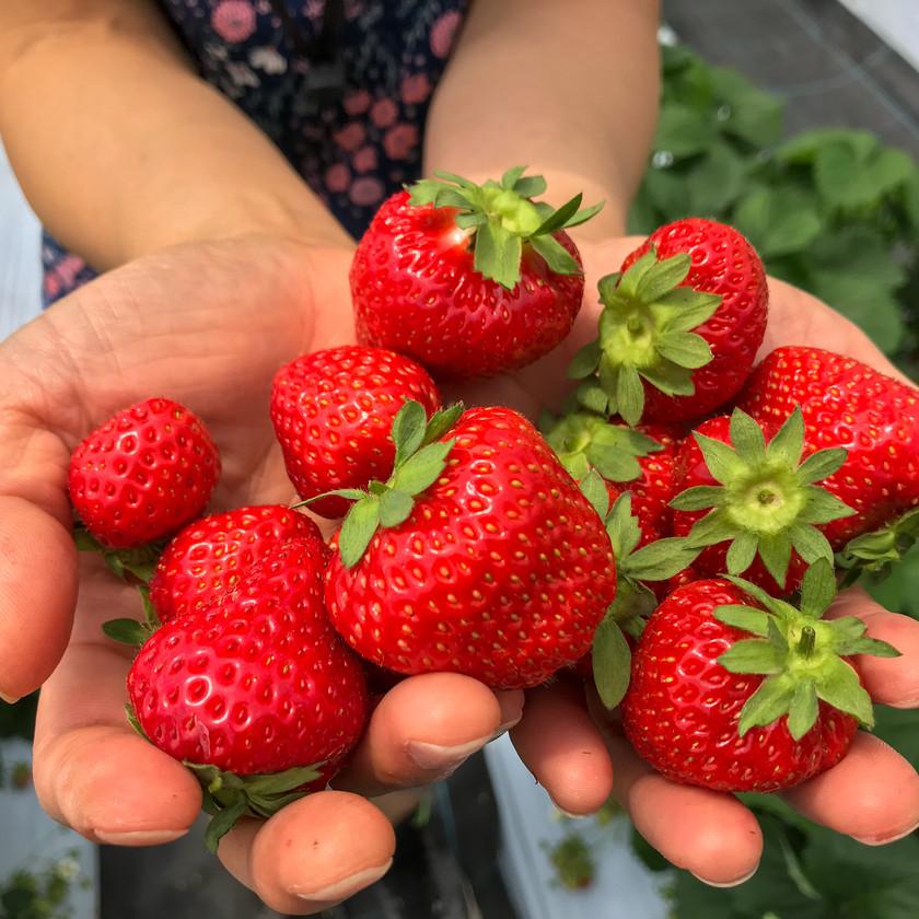 Strawberry picking Niseko