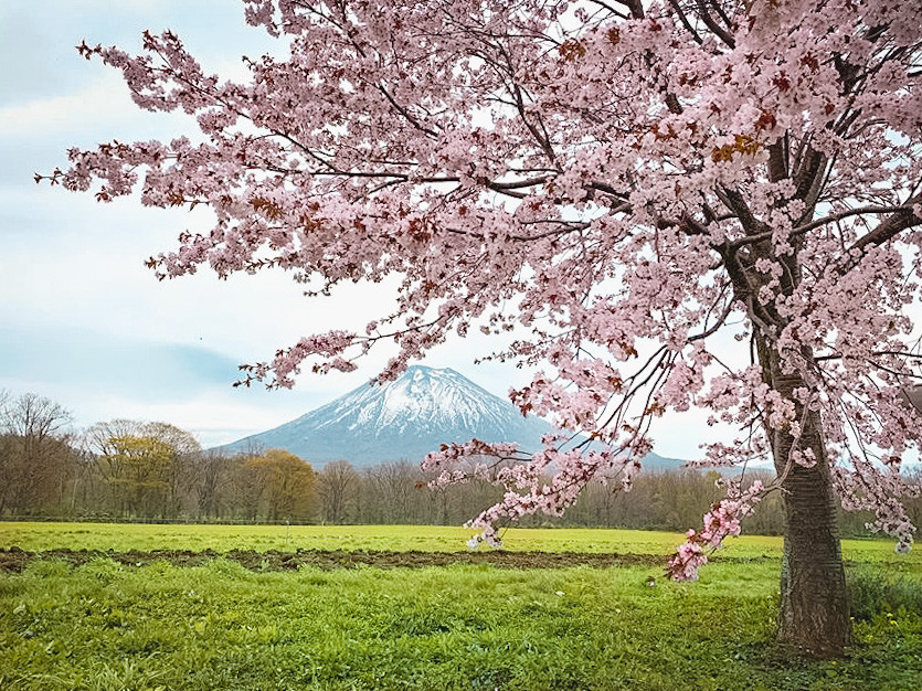 Cherry blossom tree with Mt Yotei volcano in the distance.