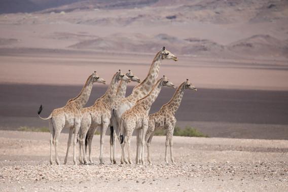 Desert Gireffe's of Purros, Namibia