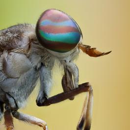 Horse Fly, photographed along Tambopata River, Peruvian Amazon Rainforest