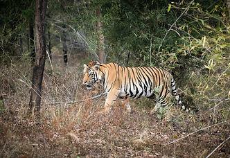 bengal tiger photo safaris india