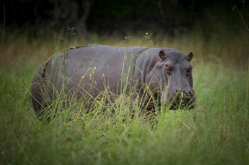 Lone Hippo of Chobe River, Botswana