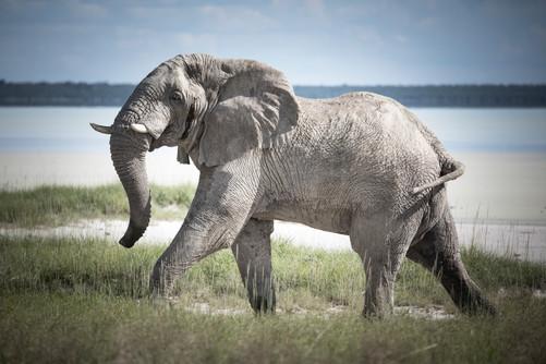 Ghost Elephant of Etosha Pan, Namibia