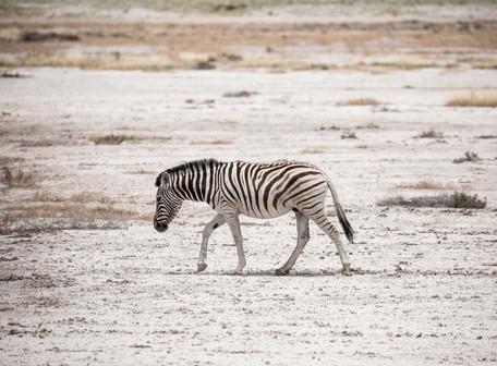 Lone Desert Zebra, Etosha, Namibia