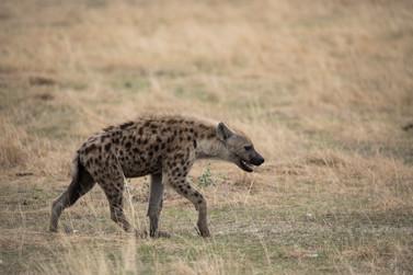 On the Hunt! Spotted Hyena, Etosha, Namibia