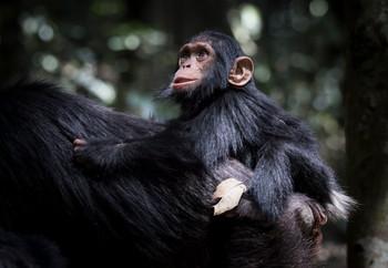 Mother and Baby Chimp, Uganda