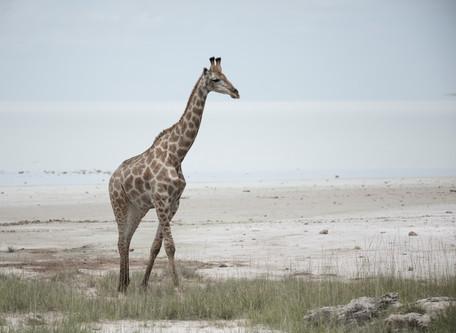 Lone Giraffe outside the Etosha Pan, Namibia