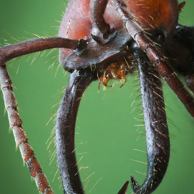 Army Ant Portrait
