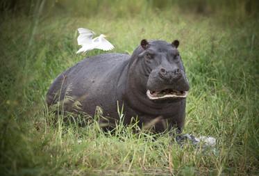 Hippo of the Okavango Delta, Botswana