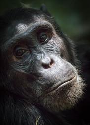 Chimp Portrait, Kibale, Uganda