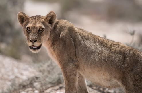 Young Lion, Etosha, Namibia