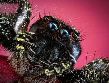 Jumping Spider, photographed along Tambopata River, Peruvian Amazon Rainforest