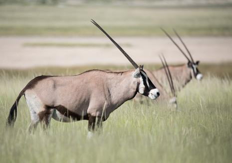 Gemsbok, Etosha National Park, Namibia