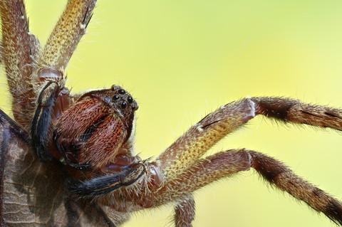 Wandering Spider, photographed along Tambopata River, Peruvian Amazon Rainforest