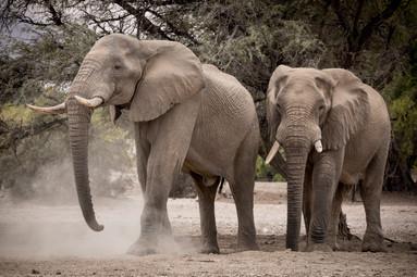Desert Elephants of Purros, Namibia