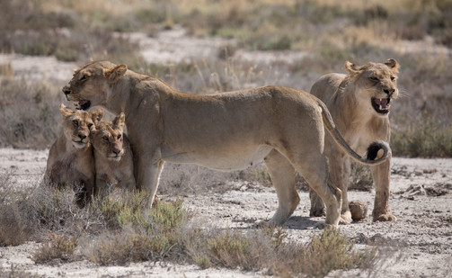 Desert Lion Pride, Namibia
