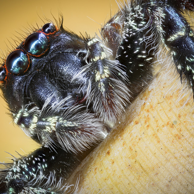 The Jumping spider