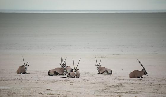 Gemsbok hurd of Etosha Pan, Namibia