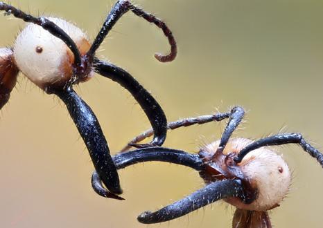 Army Ants, photographed along Tambopata River, Peruvian Amazon Rainforest