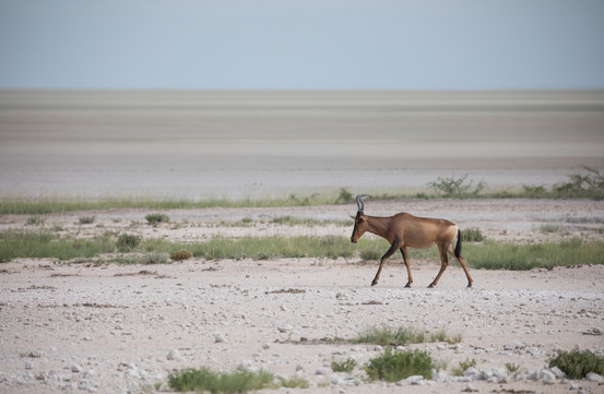 Heartbeest in the Pans of Etosha, Namibia