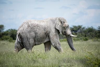 Ghost Elephant of Etosha National Park