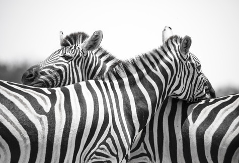 360 Lookout, Burchell's Zebra, Botswana