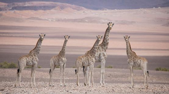 Desert Giraffe's of Purros, Namibia