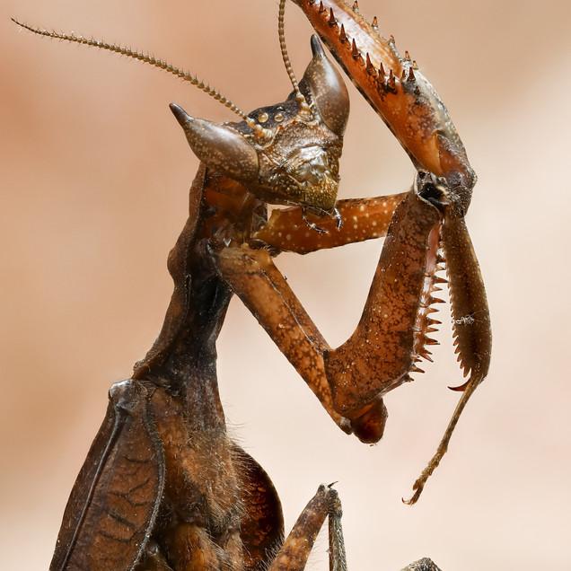 Amazon Dead Leaf Mantis