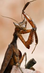 Amazon Dead Leaf Mantis, photographed along Tambopata River, Peruvian Amazon Rainforest