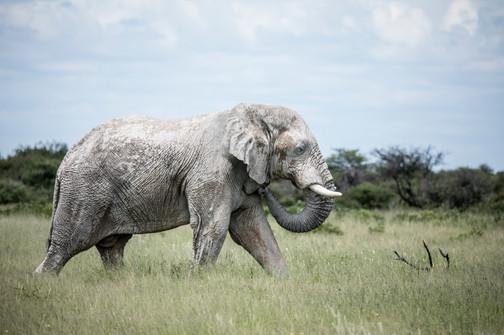 Ghost Elephant of Etosha National Park, Namibia