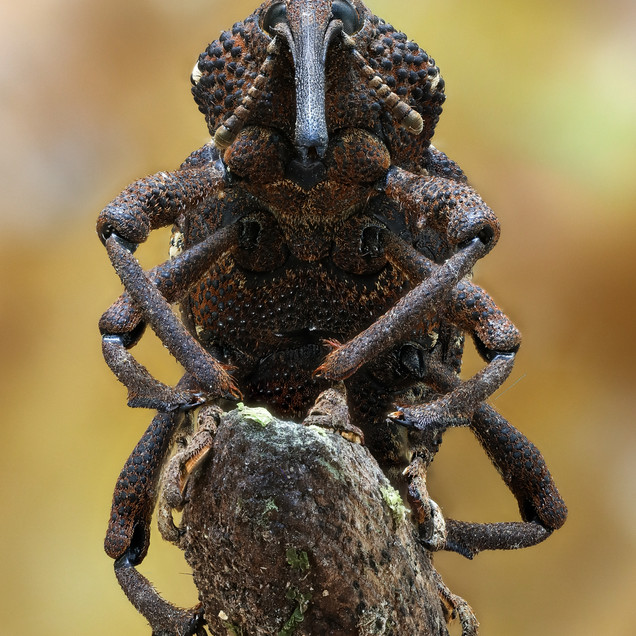 Long Snouted Weevil
