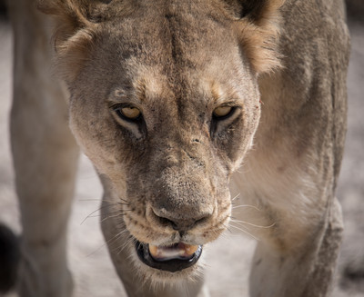Lioness on the Hunt, Botswana