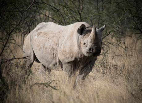 On Alert, Black Rhino, Namibia