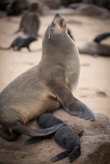Cape Fur Seal, Cape Cross, Namibia