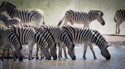 Birchell's Zebra herd, Etosha, Namibia