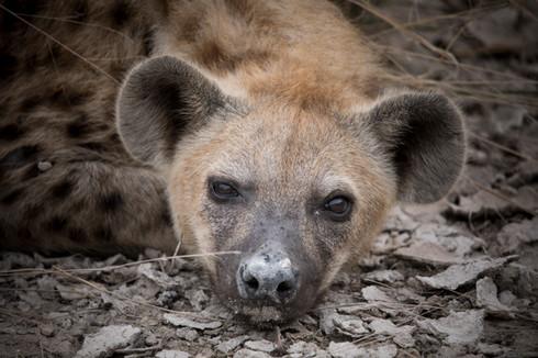 Spotted Hyena, Etosha, Namibia