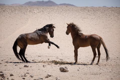 Desert Horses of Aus, Namibia