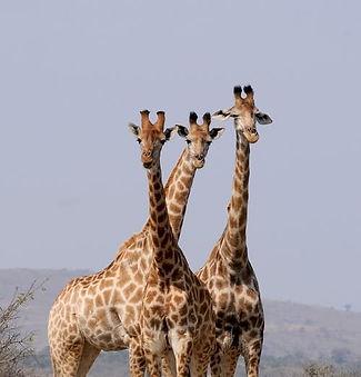 south-africa-hluhluwe-giraffes-pattern_e