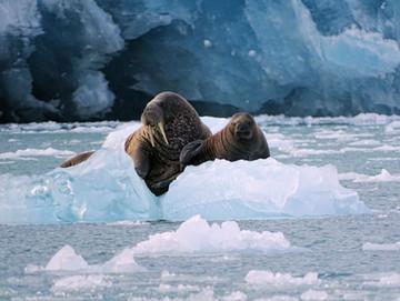 Svalbard Polar Bear.jpg