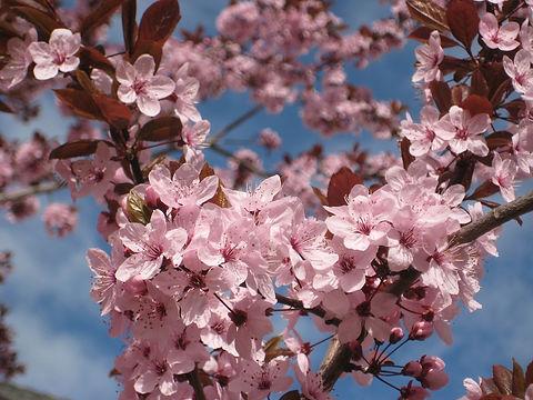 Flowering plums.jpg