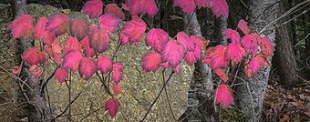 Magenta fall leaves in New England photographed by Ken Schuster.