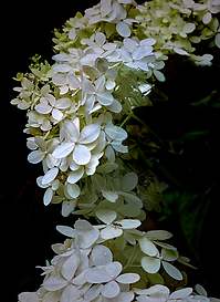 Mophead Hydrangea photographed by Ken Schuster.