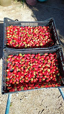 premieres recoltes des fraises 2018.jpg